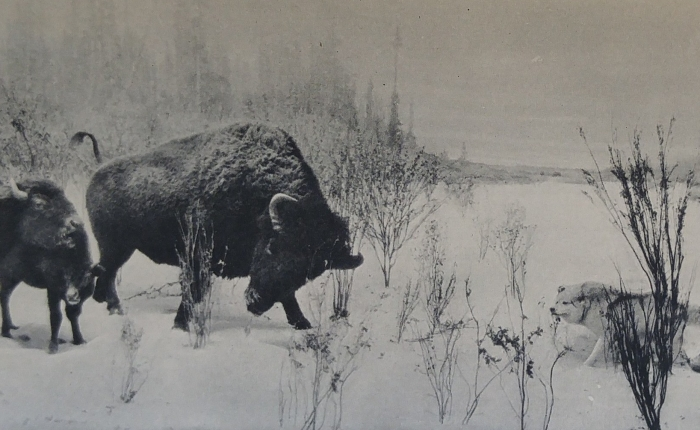 Research Ramblings: UPDATE – Tracking the Buffalo Exhibit at the Canadian Museum of Nature