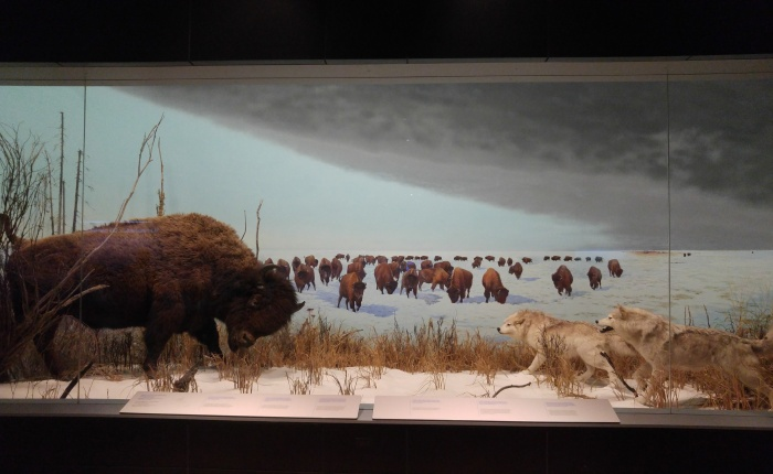 Research Ramblings: Tracking the Buffalo Exhibit at the Canadian Museum of Nature